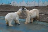 22日より同居を開始した釧路市動物園のホッキョクグマ・ツヨシ(メス・左)とユキオ(オス・右)(写真:釧路市動物園提供)