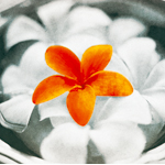 プルメリア 〜花唄〜