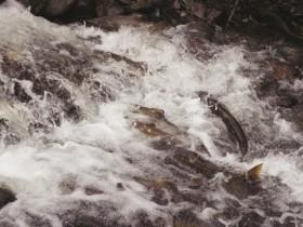 チャンスは秋から初冬!鮭の遡上を見に行こう