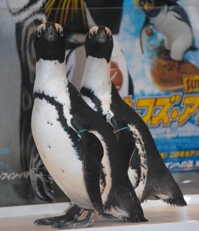 本物のペンギンも応援に駆けつけた