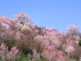 日本気象協会が4日に発表した桜開花傾向予想は「平年並み〜早め」