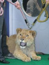 生後11か月のライオン・アスラン(オス)