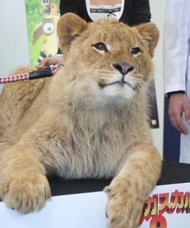 本物のライオン・アスラン(生後11か月、オス)