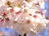 100年後には太平洋側で桜が見られない可能性も…!?