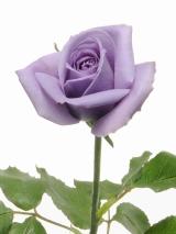 サントリーフラワーズが11月3日より発売する青いバラ『SUNTORY blue rose APPLAUSE』