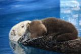 母ラッコ・ミールのお腹の上で眠る赤ちゃん(『サンシャイン国際水族館』で15日撮影)