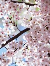 """2010年、桜の列島北上は過去最長の""""長旅""""に"""