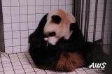 アドベンチャーワールドで8月11日に誕生した双子のジャイアントパンダと母親の良浜(写真提供:アドベンチャーワールド)