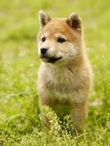 柴犬にも多く見られる『モモ』(※写真はイメージです)