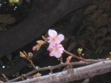 24日に開花した東京・港区の結婚式場・八芳園の河津桜