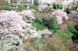 さまざまな桜が咲き乱れる春の八芳園