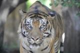 14日、死亡が確認された上野動物園のスマトラトラ・サンティック