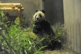 室内へ入ってから30分ほどで竹を食べ始めたメス(2005年7月生まれ)