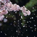 """2011年""""桜ソング""""ランキング1位はケツメイシの「さくら」"""