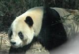 上野動物園で一般公開されたパンダの「リーリー」(オス) (C)ORICON DD inc.