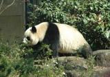 上野動物園で一般公開されたパンダの「シンシン」(メス) (C)ORICON DD inc.