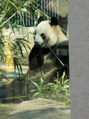 上野動物園で一般公開 元気よく笹を食べるパンダの「シンシン」(メス) (C)ORICON DD inc.