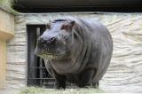 死亡が確認された、上野動物園のカバ・サツキ
