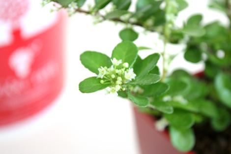 赤いハート型の実がなる「ハートツリー」、初夏には白い花が咲く
