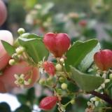 赤いハート型の実がなる「ハートツリー」