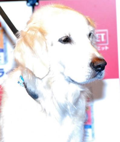 『第3回Sweet7アワード』表彰イベントに出席した津川雅彦の飼い犬・ゴールデンレトリバーのブラックくん (C)ORICON DD inc. (C)ORICON DD inc.