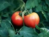 京都大学はトマトに脂肪肝や高中性脂肪血症などの改善に有効な新規成分があることを発見した。