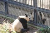 上野動物園のジャイアントパンダ「リーリー」と「シンシン」、お見合いの様子(3月26日午後撮影・同園提供)