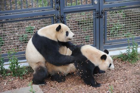 上野動物園のジャイアントパンダ「リーリー」と「シンシン」、交尾行動の様子(3月26日午後撮影・同園提供)
