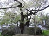 岩手県盛岡市の「石割桜」