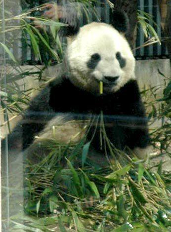 妊娠しているか注目が集まる上野動物園のジャイアントパンダ「シンシン」 (C)ORICON DD inc.
