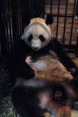 死亡が確認されたジャイアントパンダの赤ちゃんと、わが子を抱くシンシン(6日午前11時20分撮影)写真提供:東京動物園協会