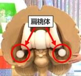 「扁桃体」の場所は、大脳基底核と呼ばれる脳の深い部分に左右それぞれある