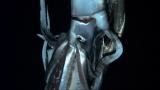 深海で初めて撮影されたダイオウイカを1月13日放送の『NHKスペシャル』で世界初放送(C)NHK/NEP/DISCOVERY CHANNEL
