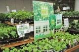 今年も注目を集める緑のカーテン、「ガーデンセンター横浜」店頭にもカーテン作りに適した苗を集めたコーナーが用意されている (C)ORICON DD inc.