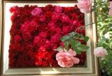 屋上庭園がバラの花で埋め尽くされた、ファンケル 銀座スクエアの『オータムローズ2013』 (C)oricon ME inc.