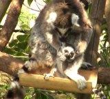 東京・上野動物園で3月に誕生したワオキツネザルの赤ちゃん