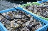 福岡県糸島氏の牡蠣