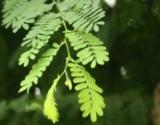 タイ伝統の本格ハーブで蒸しマッサージ『ハーブボール タイエステL』(オープン価格/紀陽除虫菊) 成分 タマリンド葉