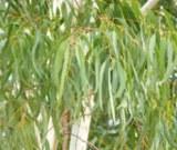 タイ伝統の本格ハーブで蒸しマッサージ『ハーブボール タイエステL』(オープン価格/紀陽除虫菊) 成分 ユーカリ