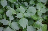 タイ伝統の本格ハーブで蒸しマッサージ『ハーブボール タイエステL』(オープン価格/紀陽除虫菊) 成分 パチョリ
