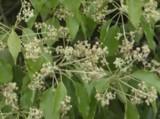 タイ伝統の本格ハーブで蒸しマッサージ『ハーブボール タイエステL』(オープン価格/紀陽除虫菊) 成分 カンフル