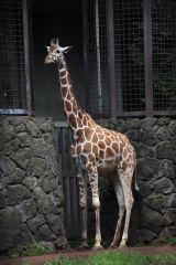 上野動物園のキリン・コハルが死亡