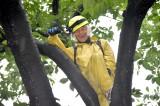 『大阪ほんわかテレビ』(毎週金曜 後7:00)内の新企画『かんばあちゃんのお宅の木に泊まらせてぇー』でソメイヨシノに一泊する間寛平 (C)読売テレビ