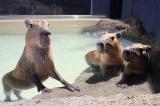 水族館「エプソン アクアパーク品川」で19日より、ハロウィンイベント『アクア・ハロウィーン』が開催/写真はカピパラ3兄弟