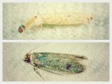 虫食いの原因となる主な害虫、ガ類「イガ」 上段/イガ幼虫 下段/イガ成虫