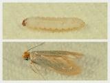 虫食いの原因となる主な害虫、ガ類「コイガ」 上段/コイガ幼虫 下段/コイガ成虫