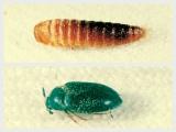 虫食いの原因となる主な害虫、ツオブシムシ類「ヒメカツオブシムシ」 上段/ヒメカツオブシムシ幼虫 下段/ヒメカツオブシムシ成虫