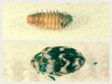 虫食いの原因となる主な害虫、カツオブシムシ類「ヒメマルカツオブシムシ」 上段/ヒメマルカツオブシムシ幼虫 下段/ヒメマルカツオブシムシ成虫