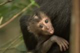 福山雅治のナビゲートで地球と生物の驚異の姿に迫ったNHKスペシャル『ホットスポット 最後の楽園 season2』より。第6回インド・スリランカの回に登場するシシオザルの赤ちゃん(C)2016 NHK