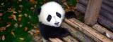 パンダの愛くるしい貴重映像が観られるHuluオリジナル『ぱんだぴあ日記〜ユルふわパンダがいっぱい!〜』8月3日配信スタート(C)ドラゴン フィルムズ